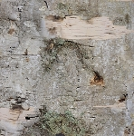 Birch tree wood bark
